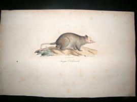 Saint Hilaire & Cuvier C1830 Folio Hand Colored Print. Sarigue Crabier Opossum